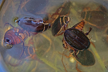 14. DIVING BEETLES