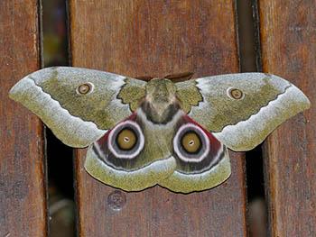 17. Emperor Moths