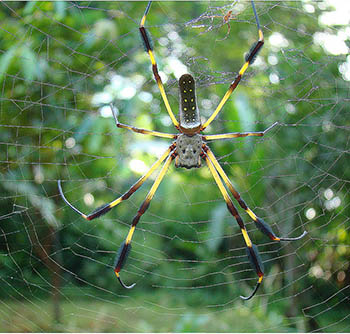 20. GOLDEN ORB WEAVERS