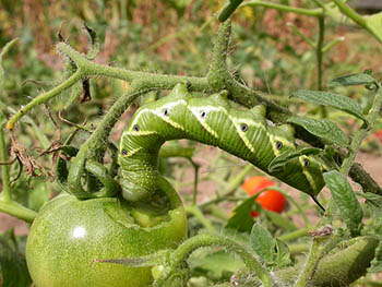 23. HORNWORMS