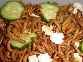 31. MEALWORMS