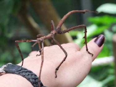39. STICK INSECTS