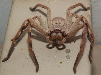 24. HUNTSMAN SPIDERS