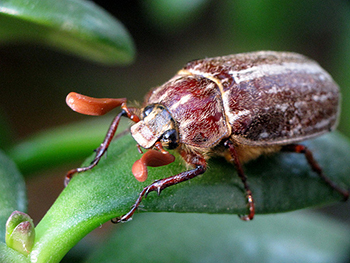 26. JUNE BEETLES