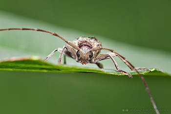 29. LONGHORN BEETLES