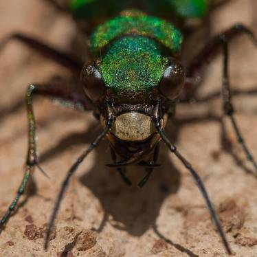 44. TIGER BEETLES
